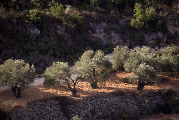 Palestinian Olive Trees