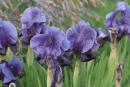 The National Flower of  Palestine: Faqqua Iris