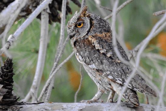 Owls in Palestine
